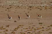 Four Vicuñas saunter across the desert in the Bolivian Altiplano