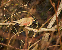 Female Northern Cardinal. Image taken with a Nikon D2xs camera and 80-400 mm VR lens (ISO 200, 400 mm, f/5.6, 1/500 sec).