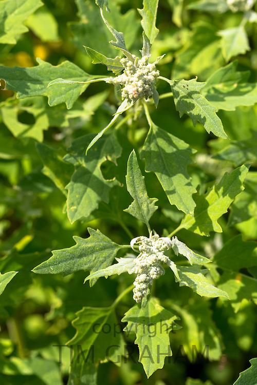 Quinoa, Chenopodium quinoa, in vegetable garden in Oxfordshire UK