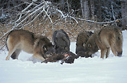 Timber or Grey Wolf, Canis Lupus, Minnesota USA, controlled situation, in snow, winter, wolf pack on deer kill