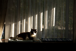 Lewis the cat sits in a sliver of sunlight in the living room of his Oakland, Calif. home, Wednesday, Oct. 28, 2020. (Photo by D. Ross Cameron)
