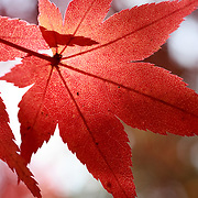 Close-up of a red momiji Japanese maple leaf in autumn, photographed at Kita no Tenman-gu in Kyoto.