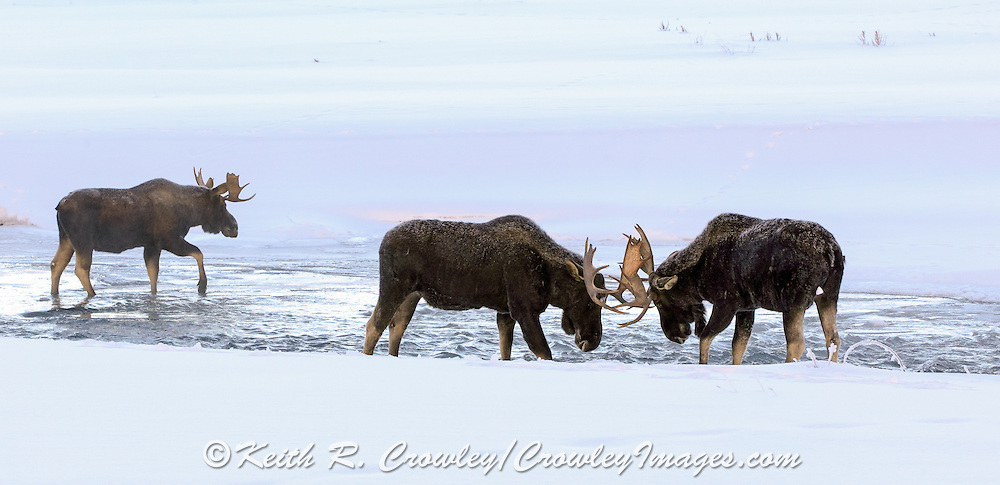Three Bull Moose Spar in Winter River