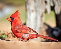 Northern Cardinal (Cardinalis cardinalis). Campos Viejos, Texas. Image taken with a Nikon D4 camera and 600 mm f/4 VR lens.