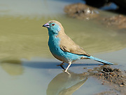 Blue waxbill, Uraeginthus angolensis, Limpopo, South Africa, in water, unmistakable species of the mixed woodland