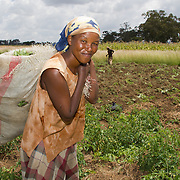 UNDP beneficiary in the field at Giwa Resettlement Farm. The organisation's Post-Election Violence Livelihoods Recovery Project has helped establish 444 acres of farmland here and provided farm inputs. Harvesting began recently. Near Nakuru, Rift Valley Province, Kenya.