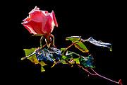 Back lit pink rose on black background