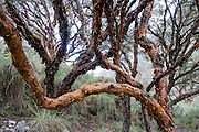 Polylepis genus of tree is in the rose family. As a day trip by car and foot from Huaraz, hike to Lake 69 (4600 meters elevation, 8 miles round trip with 800 meters gain) in the Cordillera Blanca, Andes Mountains, Peru, South America. This gnarled tree is wind-pollinated.