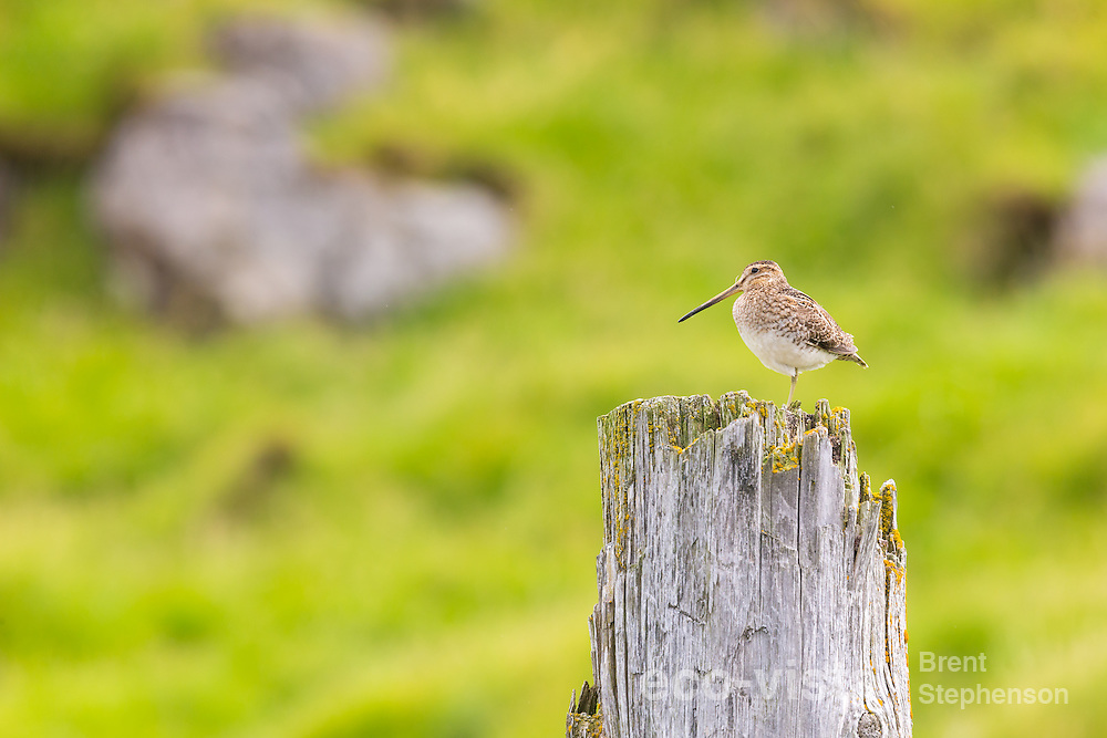 Adult male common snipe (Gallinago gallinago) perched on top of an old fence post within his territory. Flatey, West Fjords, Iceland. July.