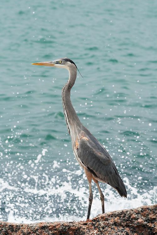 I enjoyed watching this heron fish off the shore of Mustang Island, Texas. Great Blue Heron (Ardea herodias)