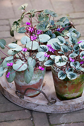 Cyclamen coum in pots. Showing a variety of leaf forms