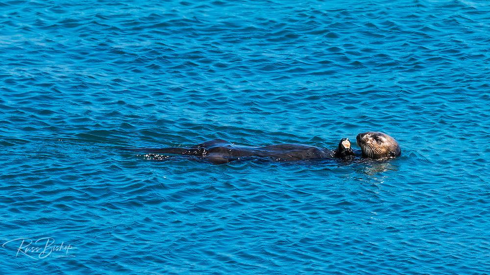 Sea Otter (Enhydra lutris), Morro Bay, California USA