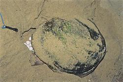 Nesting Loggerhead Turtle And Eggs