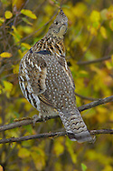 Grande Prairie, Alta..Photo Randy Vanderveen.A ruffed grouse perches in the branch of  a tree as the fall colours form a background behind it.