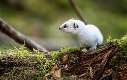 Least weasel (Mustela nivalis) in Hole, Norway