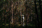 """MERIDIAN, MS – AUGUST 3, 2018: Clayton George, 57, walks under a canopy of mature Loblolly pine that is ready for final harvest. As a resident of Tennessee, George makes the four hour drive south every two weeks to check on his family's 400 acre tract and visit his father who still lives there.<br /> <br /> In 1987, George and a friend walked in rows planting the family's first batch of Loblolly pine, where soybeans, wheat and cattle once covered the family's 400 acres.  The shift to timber was largely prompted by the Conservation Reserve Program, a popular new farm subsidy in the 1980s that encouraged farmers to reforest depleted land by paying them for every acre of trees planted. Since 1926, the George family had made a good living from their eastern Mississippi farm, but the decline of soybeans and other crops eventually led George to consider growing trees instead –a crop that landowners throughout the south believed would bring in easy money. Thirty years later, however, the same landowners are now facing unexpected financial hardship. Stumpage prices have been on a steady decline – as much as 45% since 2007 – and landowners are rethinking timber as a worthwhile investment. """"""""We figured we''d plant trees and come back and harvest it in 30 years, and in the meantime go into town to make a living doing something else,"""" George said. As co-owner of the family acreage with three other family members, George always considered himself the most nostalgic Now, as he patiently awaits for right time to harvest a 30 year investment, even he considers the future of the land uncertain. CREDIT: Bob Miller for The Wall Street Journal<br /> TIMBER_AL"""