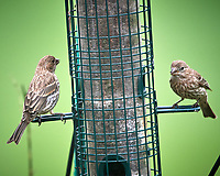 Female/Immature (?) House Finch. Image taken with a Nikon D5 camera and 600 mm f/4 VR telephoto lens (ISO 1250, 600 mm, f/5.6, 1/1250 sec).