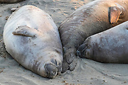Three female northern elephant seals (Mirounga angustirostris), also known as cows, rest together on the beach at the Piedras Blancas Elephant Seal Rookery near San Simeon, California. Elephant seals typically spend 9 months at sea, coming to shore only to give birth and mate. Elephant seals are named for the long snouts that male seals develop. The Piedras Blancas Elephant Seal Rookery is part of the Piedras Blancas State Marine Reserve and Marine Conservation Area, managed by California.