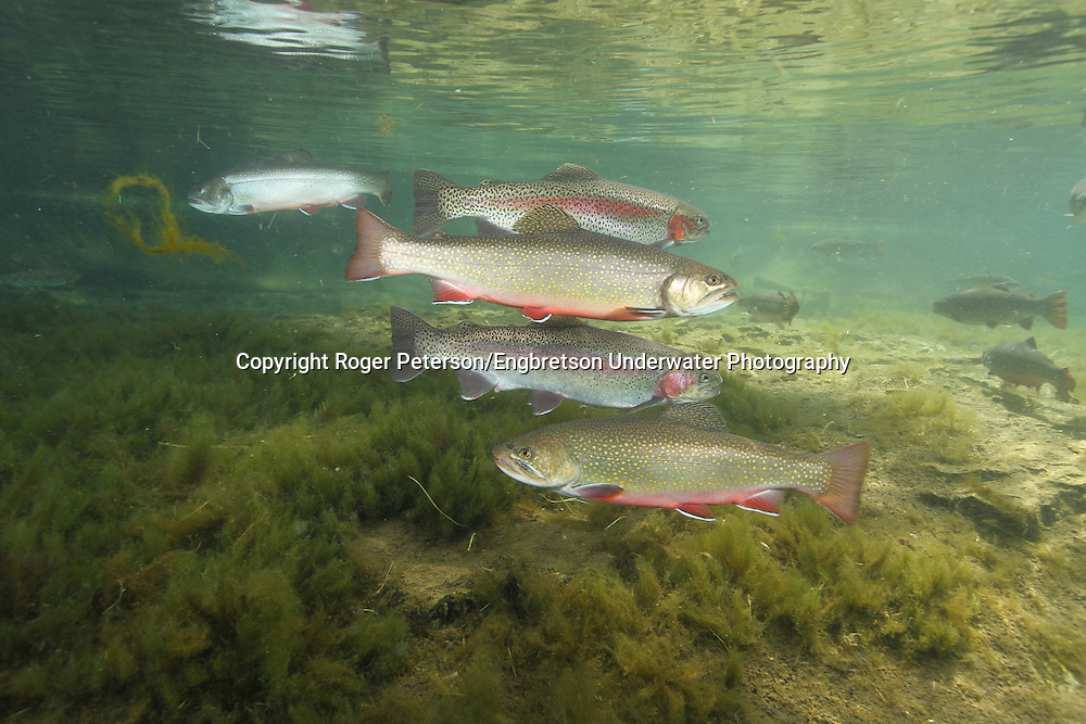 Brook Trout & Rainbow Trout together<br /> <br /> Roger Peterson/ENGBRETSON UNDERWATER PHOTO
