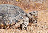 A male desert tortoise, Gopherus agassizi, eats a piece of sun-dried tortoise scat at the Desert Tortoise Natural Area, Mojave Desert, California. The tortoise is a state- and federally-listed Threatened Species.