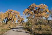 Cottonwoods and apple trees line path