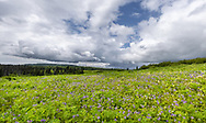 Field of wildflowers along Kachemak Bay in Southcentral Alaska. Summer. Afternoon.