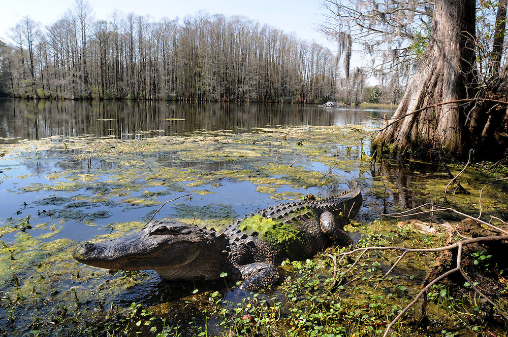 Alligators waking up early thanks to the super-warm winter-<br /> An approximately six foot alligator basks in the sun along the shore of Greenfield Lake Thursday March 15, 2012. Staff Photo by Mike Spencer