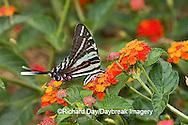 03006-002.16 Zebra Swallowtail (Eurytides marcellus) on Red Spread Lantana (Lantana camara) Marion Co.  IL