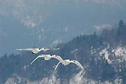 Whooper swan, Cygnus cygnus, group in flight, flying, Kussharo-ko, Hokkaido Island, Japan, japanese, Asian, wilderness, wild, untamed, ornithology, snow, graceful, majestic, aquatic