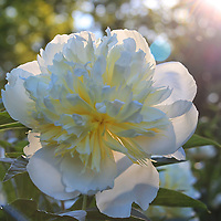 """""""Peony Magic""""<br /> <br /> A lovely white Peony in the sunlight, creating beautiful bokeh!!<br /> <br /> Flowers by Rachel Cohen"""