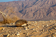 Desert Hedgehog or Ethiopian Hedgehog (Paraechinus aethiopicus) photographed in the desert in Israel. This hedgehog is an omnivore and has been known to eat a wide range of invertebrates, but prefers earthworms, slugs and snails. It will also eat frogs, small reptiles, young birds and mice, carrion, bird eggs, acorns and berries. it is mainly a nocturnal animal