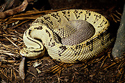 Neotropical Rattlesnake, Crotalus durissus culminatus, yellow and black patterned skin scales, showing rattle, captive, Central and South America, poisonous, venemous
