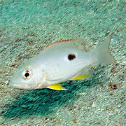 Mahogany Snapper, juvenile, sandy areas adjacent reefs, in Tropical West Atlantic; picture taken Bequia, Grenadines.