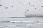 A flock of seagulls fly over the beach along the West Coast Trail, British Columbia, Canada.