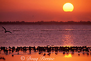seagulls at sunset, Biscayne Bay, Miami, Florida, USA <br /> ( Western Atlantic Ocean )