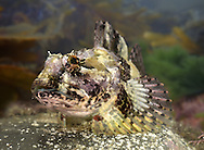Sea Scorpion - Taurulus bubalis