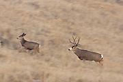 A trophy sized Colorado mule deer (Odocoileus hemionus)buck during the autumn rut chasing a doe