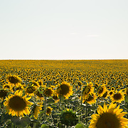 """Sunflowers in Spain.<br /> <br /> For all details about sizes, paper and pricing starting at $85, click """"Add to Cart"""" below."""