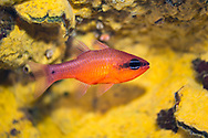 Cardinal fish-Apogon (Apogon imberbis), mediterranean sea.