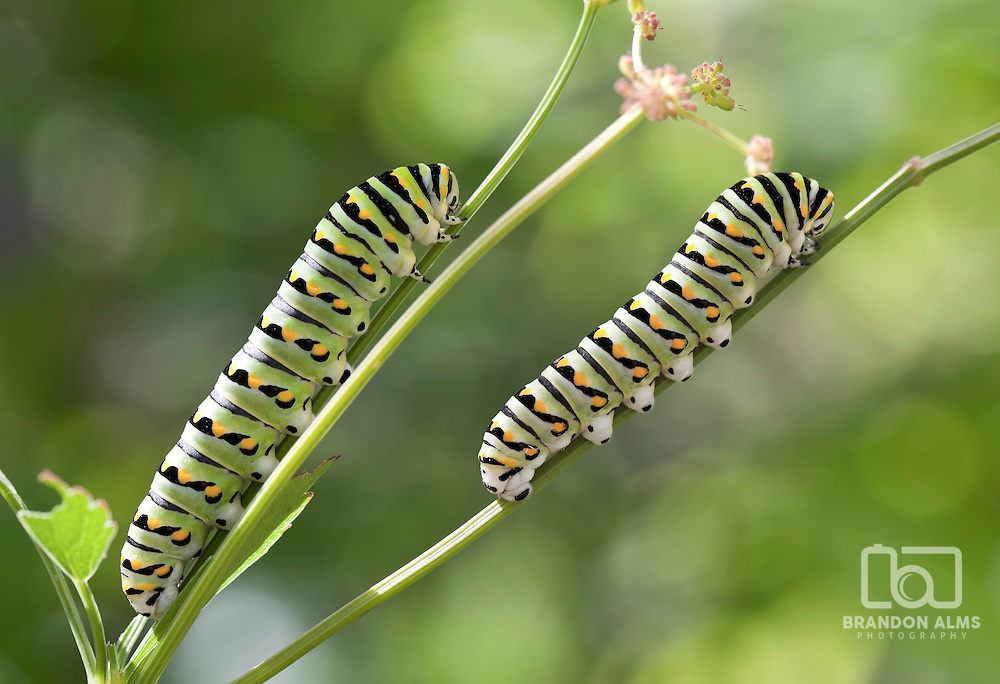 Two Black Swallowtail Caterpillars (Papilio polyxenes) mimic each other.