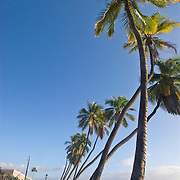 Palm Trees in Lahaina, Maui