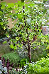 Standard blackcurrant bush