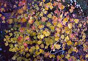 Utah Squawbush, Rhus aromatica var. simplicifolia, in early November, Arches National Park, Utah.