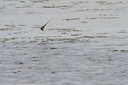 Hobby chasing dragonflies at Shapwick Heath. Three four spotted chasers can be seen in front of the hobby.