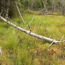 Standing dead cedar trees decorate this bog on Isle Au Haut in Maine's Acadia National Park.