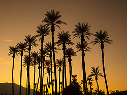 Group of silhouetted palm trees at sunset.