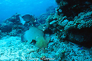 giant bumphead parrotfish, Bolbometopon muricatum, feeding on Acropora coral, fish in back excreting pulverized coral skeleton as sand, Great Barrier Reef, Australia ( Western Pacific Ocean )