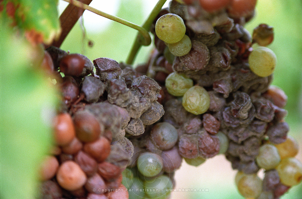 Semillon grapes with noble rot. at harvest time  Chateau d'Yquem, Sauternes, Bordeaux, Aquitaine, Gironde, France, Europe