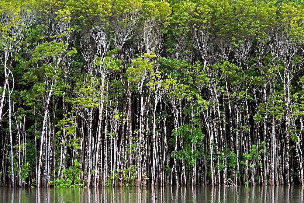 Mangrove trees in the shallows of the Mossman River estuary, Daintree, Australia
