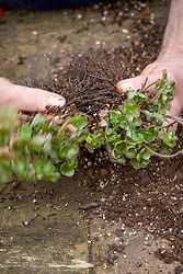 Repotting and dividing a hepatica.<br /> Gently teasing apart